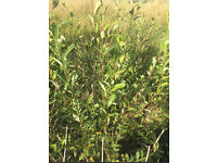 Bog willow trees 5-6ft
