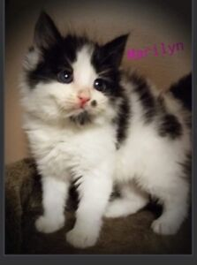 Female black and white kitten