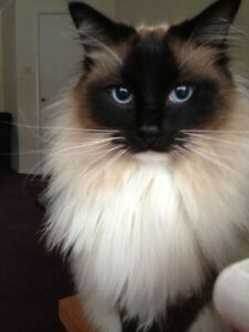Wanted: WANTING TO BUY MALE RAGDOLL!!!