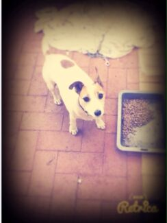 Pure breed jack Russell Girrawheen Wanneroo Area Preview