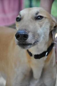 "Adult Male Dog - Greyhound: ""Nitro Smokestack"""