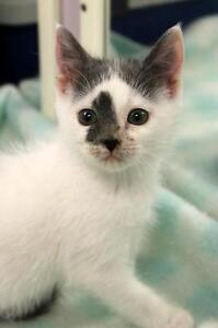 "Baby Female Cat - Domestic Medium Hair: ""Snowflake"""