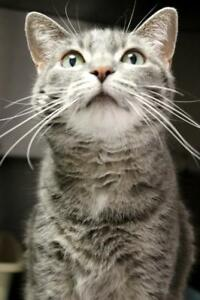 "Adult Female Cat - Domestic Short Hair-Tabby: ""Penny"""
