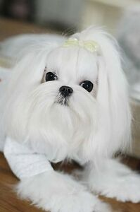 TOP QUALITY KOREAN MALTESE PUPPIES