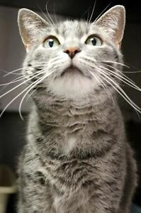 "Adult Female Cat - Domestic Short Hair-Tabby: ""Penny"""