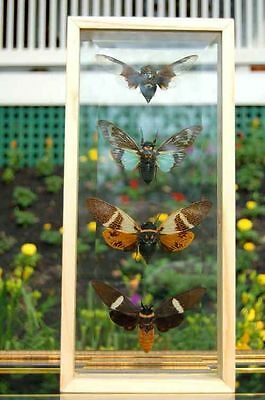 Giant Cicadas Insect Wings Frame Double Glass World's Best Quality Displays (Best Quality Glasses Frames)