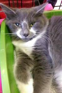 """Young Male Cat - Domestic Short Hair: """"Ratchet"""""""