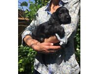 2 gorgeous female sprocker spaniel puppies for sale