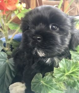 Home raised Shih Tzu cross pups ready now