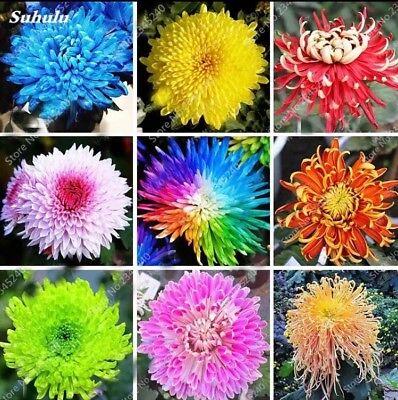 20PCS Rainbow Chrysanthemum Flower Seeds rare color Home - Rainbow Flower