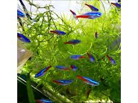 Tropical fish Neon tetras*Home Delivery*