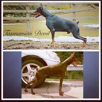CKC Registered World Champion EURO Bloodline Doberman Puppies