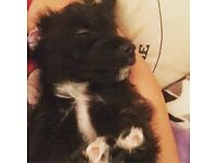 Jackapoo puppy dog for sale