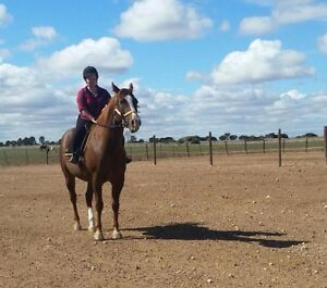 Horse exercising/ desensitising/ horse work/ anything with horses Adelaide CBD Adelaide City Preview