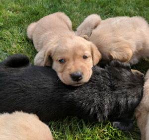 Golden retriever crossed with chocolate lab puppies