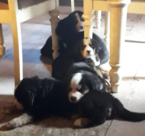 Bernese Mountain Dog Puppies for Sale - only 6 left