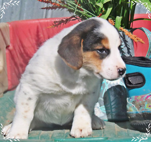 Last 3 --9 week old B.  collie x Beagle  pups pick up  today