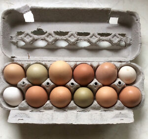 12 Fertilized Hatching Eggs From Laying Hens - St. Thomas