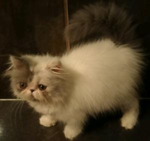 Pedigree Persian kitten female