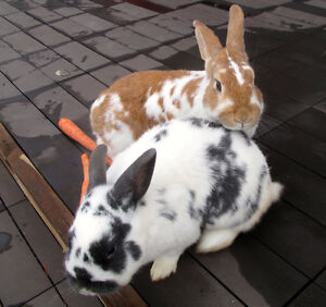 "2 Adult Male Rabbits, Brothers VANDERHOOF     ""Waffles and Garth"