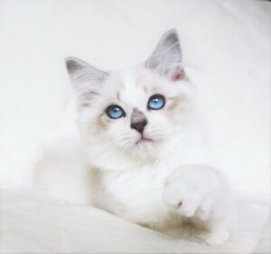 Beautiful BiColor Ragdoll Kittens