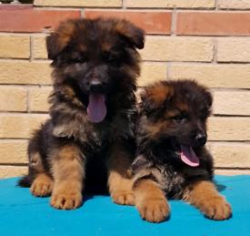 Kc registered solid blue French bulldog pups *1 boy left