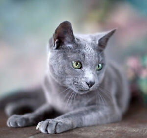 Russian  blue  female, 2 years old, not spayed, very cute