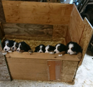 Bernese Mountain Dog puppies - Only two left !