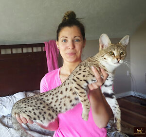F3 Savannah Kitten avail. Similar to bengal cat, only better :)