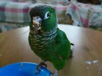Tame Green Cheek Conure - in need of a loving home