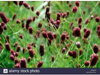 Perennial plant Sanguisorba