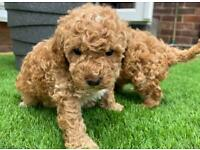 F1B Cavapoo Puppies (Fox red/Apricot) 2 puppies reserved