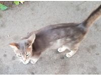 "Cat ""Tina"" missing in Grove Park - £250 Reward!"