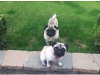 Full bred KC registered Pug puppies