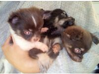 Chocolate Chihuahua Puppy's