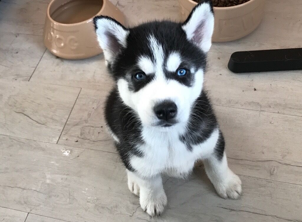 Husky Dog For Sale In Maine