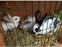3 girl rabbits and hutch