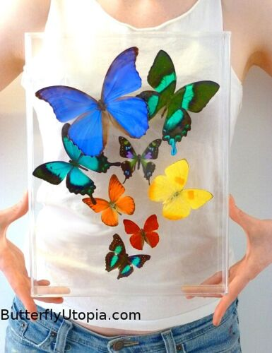Real 3D Framed Butterflies: Butterfly Art - Acrylic Frame - includes Blue Morpho