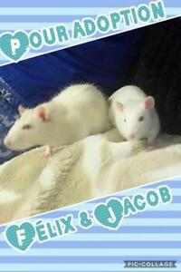 """Young Male Small & Furry - Rat: """"Félix"""""""