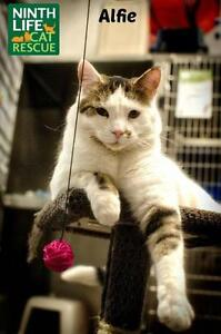 """Young Male Cat - Domestic Short Hair: """"Alfie"""""""