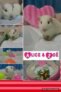 """Young Female Small & Furry - Short-haired: """"Alice Zoe"""""""