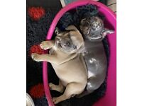 1 blue Blue Fawn French Bulldog pup left ready today