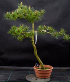 Yamadori Pinus Sylvestris literati style bonsai material