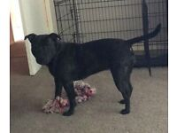 Staffordshire bull terrier, female, 2 this month.