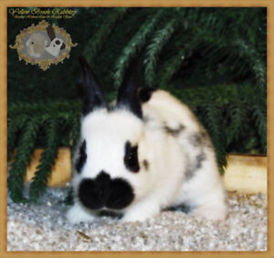 Baby English Spot Bunnies! Super friendly rare breed!