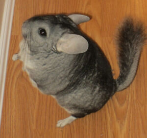 2 Chinchilla's need forever home