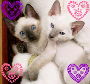 ❤❤MAGNIFIQUES CHATONS SIAMOIS❤STUNNING PURE SIAMESE KITTENS❤❤