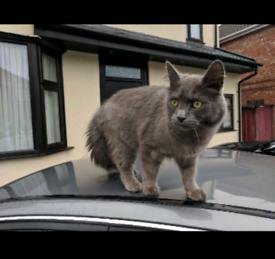 British long hair grey cat 3 years friendly