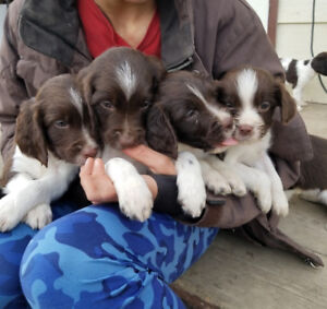 Springer Spaniel pups available for adoption