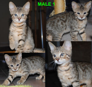 Magnifiques Purebred Chatons Cheetoh(Ocicat, Bengal, Abyssin)